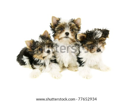 Biewer terrier puppies isolated on white background