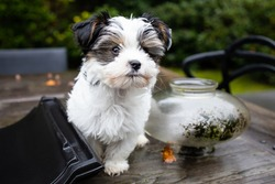 Biewer Yorkshire Terrier Dog puppy in black and white sitting on a table outside seen from the front