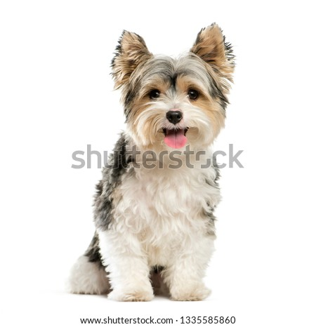 Biewer Yorkshire Terrier, 3 years old, sitting in front of white background #1335585860