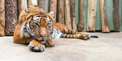 big adult tiger laying in captivity - panoramic view
