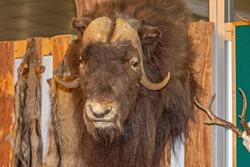 Big African Buffalo Head Taxidermy Game Trophy