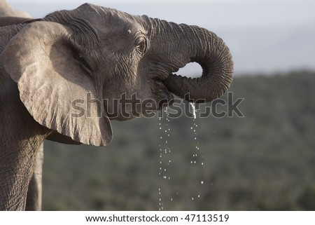 Big African Elephant drinking water  in South Africa