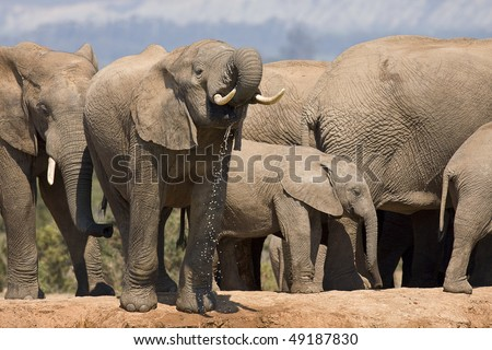 Big African Elephant in South Africa