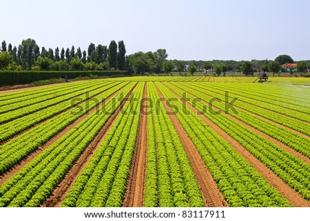 Big agriculture field of green salad vegetables