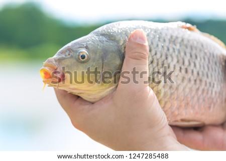 Big alive mirror carp in fisherman hands. Fishing concept. #1247285488