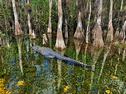 Big alligator on the clear waters of the swamp in Big Cypress, Florida