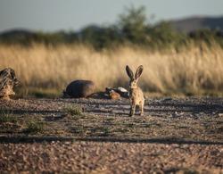 Big American alert desert hare faces camera in dry landscape