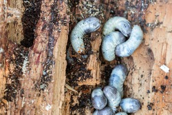 Big and fat cockchafer's grubs in a rotten tree in farmer's garden on daylight in summertime