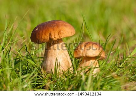 Big and small eatable mushroom (boletus edulis bull, borowik szlachetny, prawy, prawdziwek). Mushrooming in Poland. Zdjęcia stock ©