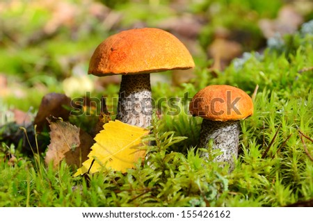Big and small orange cap mushrooms growing in green moss