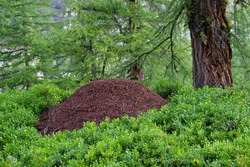 Big anthill in forest between Blueberry plants