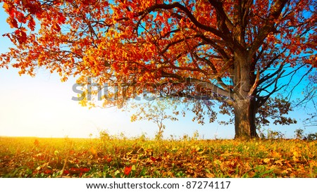 Big autumn oak with red leaves on a blue sky background