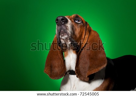 big basset hound dog looking up against a green background