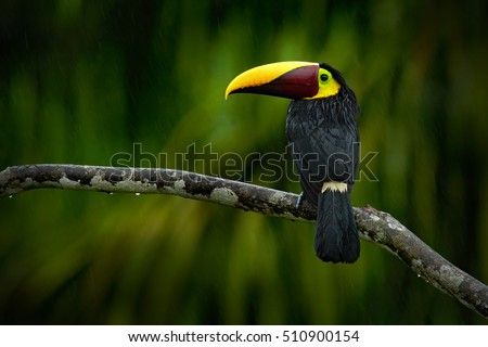 Big beak bird Chesnut-mandibled Toucan sitting on the branch in tropical rain with green jungle background. Wildlife scene from nature with beautiful bird with big bill. Toucan in the nature.