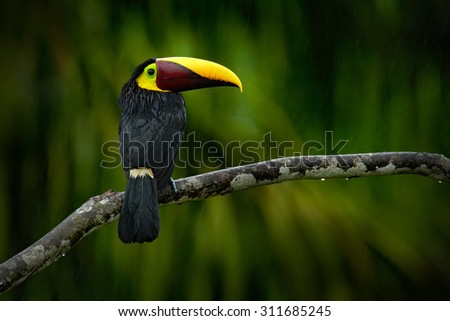 Big beak bird Chesnut-mandibled Toucan sitting on the branch in tropical rain with green jungle in background.