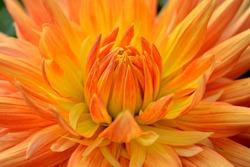 Big beautiful dahlia with orange-yellow petals. Close up.