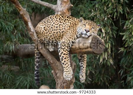 Big, beautiful leopard resting on a tree limb at local zoo.