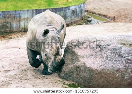 Big beautiful rhino on a walk. Close-up. Wild animals. Wild nature.