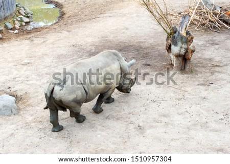 Big beautiful rhino on a walk. Wild animals. Wild nature.