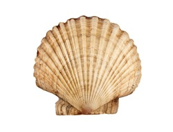 Big beautiful scallop isolated on white.