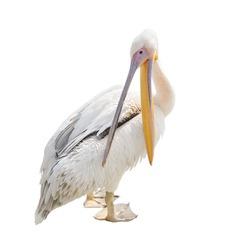 Big beautiful white pelican isolated on white. Funny cute zoo bird pelican and open beak. Pelican - large water bird that eat fish/Big beautiful white pelican isolated on white