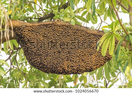 Big Bee hive on branch of tree in nature