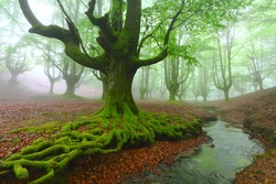 big beech  in spring with roots and river