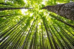 big beech trees in spring wood
