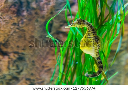 big belly sea horse in macro closeup, yellow color with black spots, tropical fish from the australian ocean