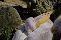 Big birds of pelicans lying down and resting under the sunshine in its nests. Close up photo.