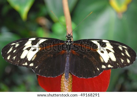 stock-photo-big-black-and-red-tropical-butterfly-sitting-on-the-red-flower-49168291.jpg
