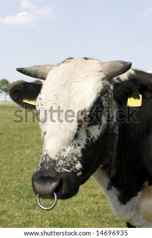 Big black and white bull with snout ring