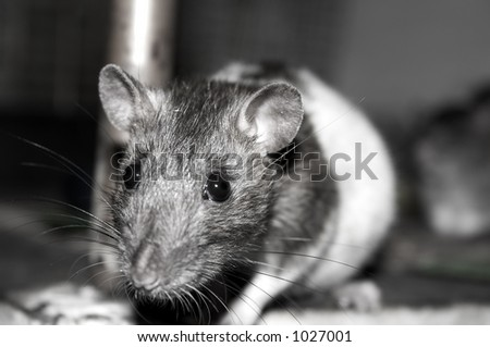 big, black and white mouse