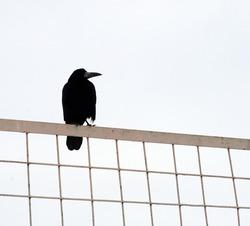Big black crow on an iron fence.