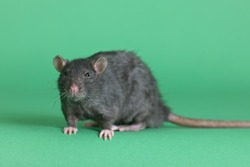 big black domestic rat on a green background