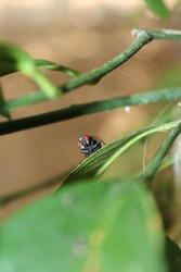 big black fly on the green leaf of the tree. big red eyed fly