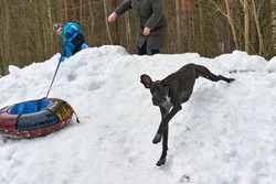 Big black hunting dog runs on snow slide for riding kids