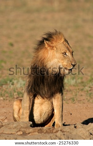Big, black-maned African lion (Panthera leo), Kalahari desert, South Africa