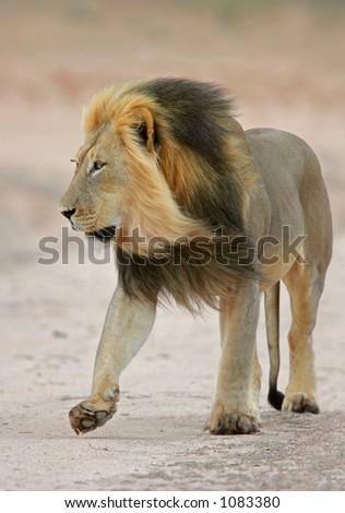 Big, black-maned African lion (Panthera leo) walking, Kalahari, South Africa - stock photo