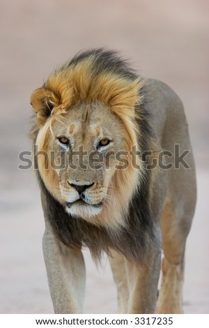 Big, black-maned African lion (Panthera leo) walking, Kalahari, South Africa
