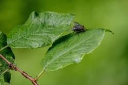 Big black nasty fly sits on a green leaf.