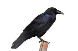 Big black raven, isolated on white background