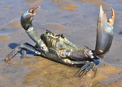 Big blue mud crab with red eyes, holding its claws in the air in a defencive pose. The crab is standing in shallow water in the sand on a beach.