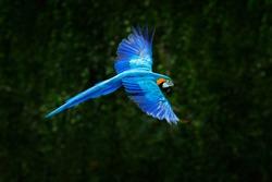 Big blue parrot in flight. Ara ararauna in the dark green forest habitat in Pantanal, Brazil. Action wildlife scene from South America.