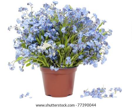 Big bouquet from spring blue Forget-me-nots (Myosotis) flowers   isolated on white