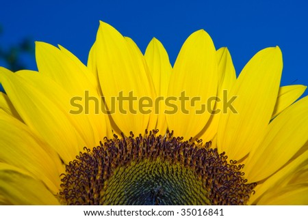 Big bright and vibrant yellow sunflower against blue sky