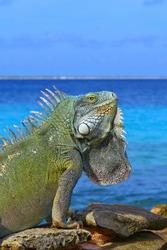 Big bright green iguana lizard sitting on the beach rocks at the edge of the ocean. Warm sunny exotic day, summer vacation, azure calm sea background. Iguana head profile, lizard body detail.
