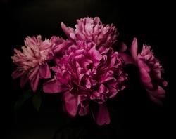 Big bright peony against black backdrop. Dark moody floral background.