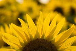 big bright yellow sunflower in the field. Large flowers of a sunflower in the sunlight. Yellow flowers on a farm field. Agriculture concept, organic products, good harvest. Growing seeds for oil.