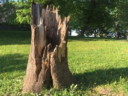 Big Broken tree trunk stump  in sunny green grass field, green trees full of leaves at background summer day